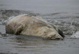 لاشه یک قلاده فک خزری در سواحل رودسر پیدا شد