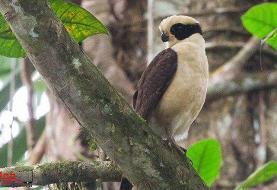 شاهین خندان؛ شکارچی پرنده با چشم بند مشکی!(+تصاویر/فیلم)
