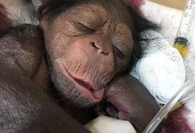 دامپزشکی که شامپانزه در قفس را تنها نگذاشت+تصاویر و فیلم