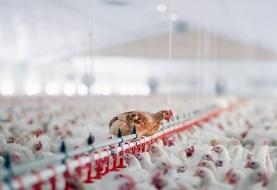 نقش تجهیزات مدرن در افزایش سوددهی مرغداری