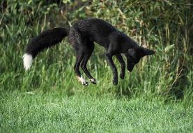 عکس روز | روباه «ملانیستیک»