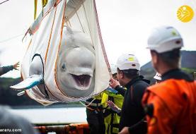 (تصاویر) رهاسازی نهنگهای سفید چین در پناهگاه اقیانوس