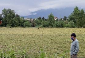 خسارت بارش باران به ۶۵ درصد شالیزارهای صومعهسرا
