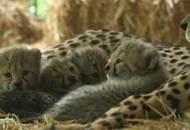 نجات نسل یوزپلنگ نه در ایران و آفریقا، در اتریش!