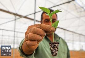 ویدئو / صادرات ۷۵ درصدی در بزرگترین مجموعه گلخانهای ایران