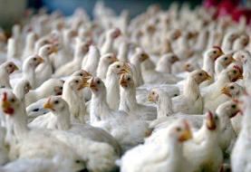 مصرف گوشت مرغهایی که خودخوری کردهاند خطرناک است؟