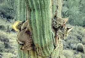 Only in Arizona: Bobcats clinging to a saguaro cactus caught on camera