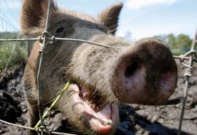 US faces ticking 'feral swine bomb' as millions of wild pigs run rampant across country