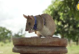 (ویدئو) اهدای مدال طلا به موش مین یاب
