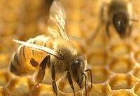 تاثیر زهر زنبور عسل بر سرطان پستان
