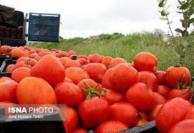 گندیده مال خودتان! ویدئو برگشت ۲۰۰ کامیون گوجه فرنگی ایرانی از عراق