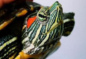محکومیت قاچاقچی ۲۰۰۰ قطعه لاکپشت گوش قرمز؛ فقط ۱۰۰ میلیون تومان!