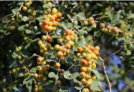 در مورد خواص بینظیر میوه و برگ درخت کُنار یا سِدر چه میدانید؟