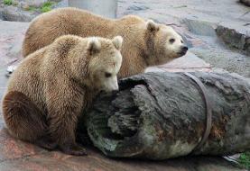 بی خوابی زمستانی بچه خرسهای مشهور باغ وحش هلسینکی