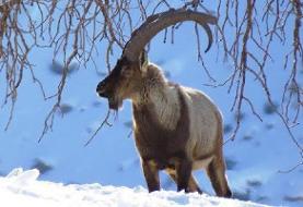 ۱۳ نکته درباره نزدیک شدن حیات وحش به مناطق مسکونی در فصل سرما