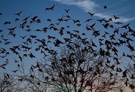 طغیان کلاغها در خرمآباد