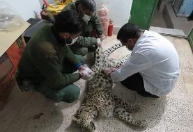 سگهای گله یک قلاده پلنگ را در اطراف مشهد کشتند/ عکس