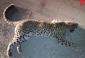 سگ های گله پلنگ ایرانی را کشتند (+عکس)