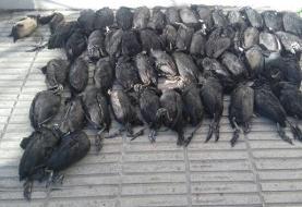 دستگیری عاملان کشتار ۵۴ مرغابی وحشی در خلیج گرگان