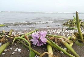 رسیدن پای «سنبل آبی» به سواحل خزر