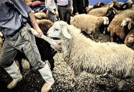 گوسفندان، گرسنه و ناچار به کشتارگاه میروند!
