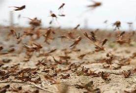 هشدار به کشاورزان ۳ استان برای هجوم ملخ صحرایی