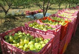 افزایش دو برابری صادرات سیب درختی مراغه