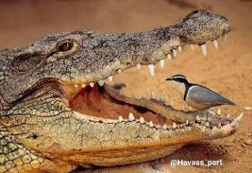 کروکدیل این پرنده را هرگز نمی خورد (عکس)