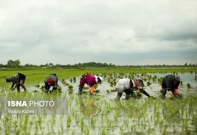 نماینده گرگان: با کشت برنج در داخل میتوان جلوی واردات برنج بیکیفیت را گرفت