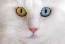 عکس روز| گربه وان