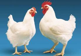 ماجرای مرغ تریاکی در اصفهان چیست؟