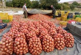 خرید پیاز از کشاورزان جنوب کرمان| اهدای پیاز رایگان به نیازمندان