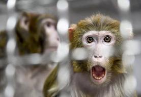 دانشمندان چینی و آمریکایی رویان مخلوط انسان-میمون خلق کردند