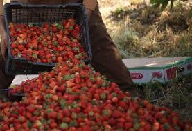 پیشبینی افزایش ۱۰درصدی تولید توتفرنگی در مازندران