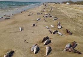 «فعالیتهای صیادی» علت مرگ گربه ماهیان در ساحل جاسک اعلام شد