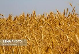 ماجراهای گندم پر حاشیه! کشاورزان با قیمت جدید مشکلی ندارند؟