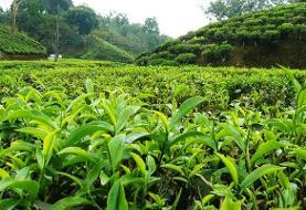 فعالان چای: نرخ تضمینی عادلانه نیست