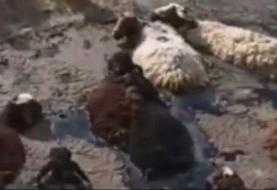 قیرهای رها شده در حاشیه کرج یک گله گوسفند را بلعید!
