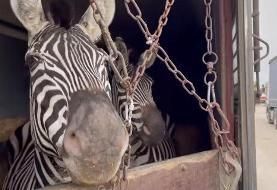 مرگ دومین گورخر آفریقایی باغ وحش صفادشت