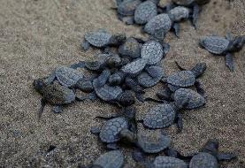 بازگشت لاکپشتهای پوزه عقابی به سواحل کیش