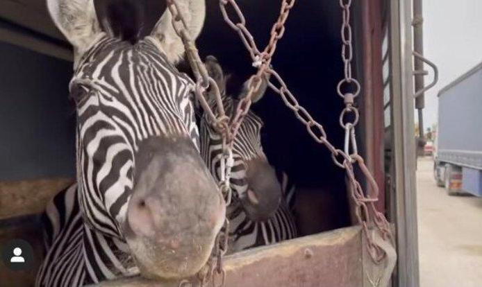 واکنش سازمان محیط زیست به تلف شدن گورخر آفریقایی باغ وحش صفادشت
