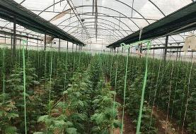 حمایت۵۳ میلیارد ریالی بانک کشاورزی از مجتمع گلخانه ای سبزی و صیفی