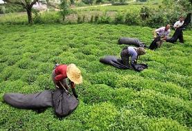 تولید ۱۲ هزار تن چای خشک از چین بهاره شمال