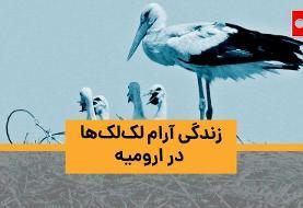 ویدئو | ارومیه، زیر پای لکلکها