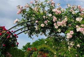 انواع گل رونده باغچهای و آپارتمانی؛ معرفی ۲۰ گل دلربا برای تزئین خانه و باغچه