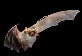 درباره «خفاش» چه میدانید؟