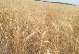 کاهش ۳۱ درصدی خریدتضمینی گندم در همدان